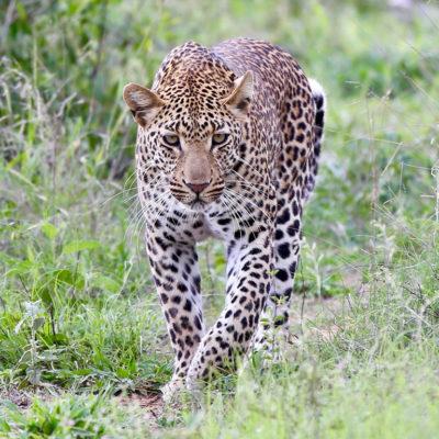 hoyo-hoyo-safari-leopard-1