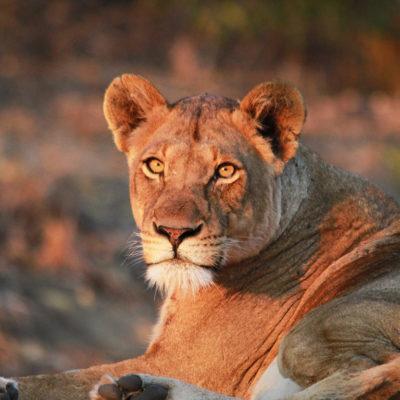hoyo-hoyo-safari-lions-3