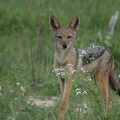 Fast growing sub adult Black Backed Jackal pups seen on Manyeleti Cutline