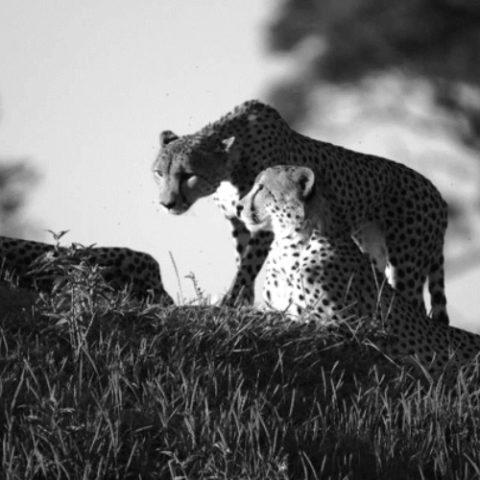 Collision of 4 young male cheetahs – amazing and unforgettable sightings this month