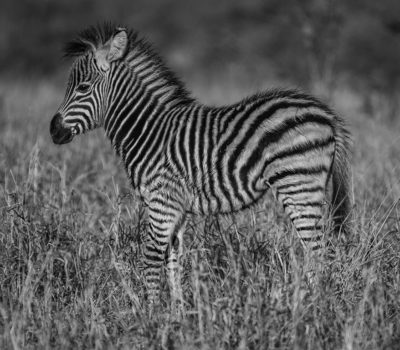 Series of pictures from the herd of zebra we were watching