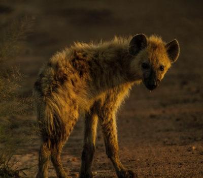 Adorable young Hyena
