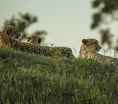 Amazing coalition of 4 male cheetah – regular visits