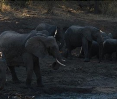 The merging of two herds of elephants at Hamilton's