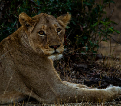 An unknown skittish lioness, who later relaxed  for us to take some wonderful photos of her