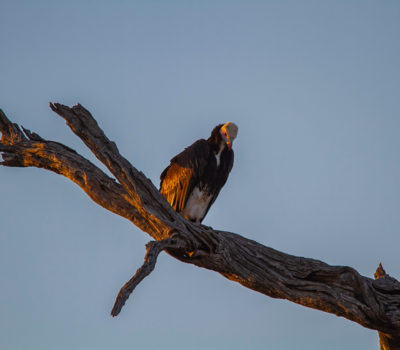 White Head Vulture Adult warming up in the sun