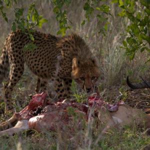 Hoyo-Hamilitons-Imbali-cheetah-eating