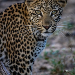 Hoyo-Hamilitons-Imbali-leopard-3