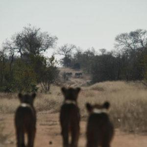 Hoyo-Hamilitons-Imbali-lioness