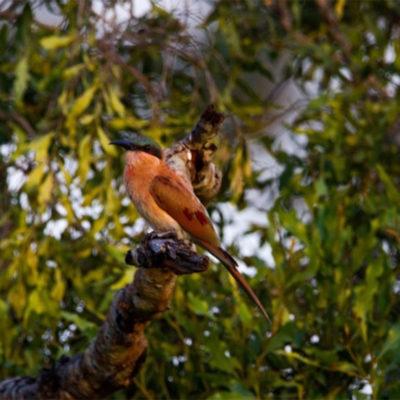 Hoyo-Hamiltons-Imabali-bee-eater