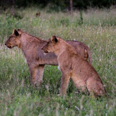 Hoyo-Hamiltons-Imabali-lionesses