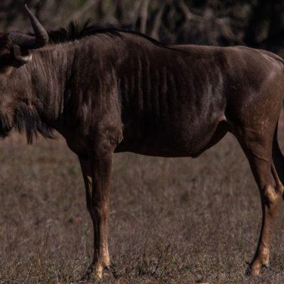 Hoyo-Hamiltons-Imabali-wildebees