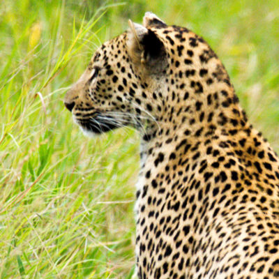 ImbaliHoyoHamilto-Newsletter-leopard22