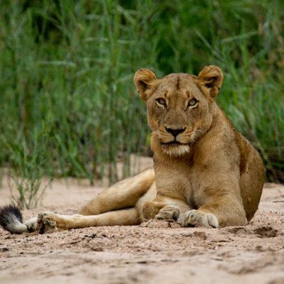 ImbaliHoyoHamilto-Newsletter-lioness