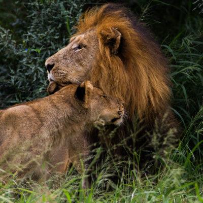 ImbaliHoyoHamilto-Newsletter-male-and-female-lion
