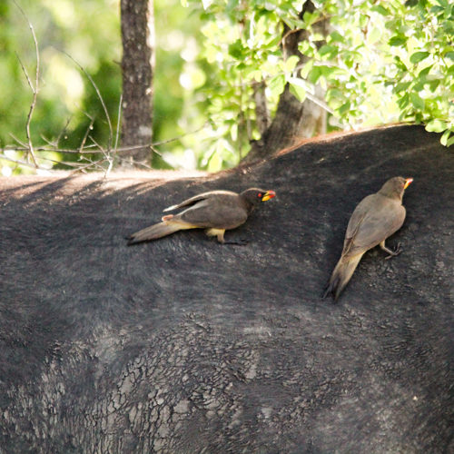 Red-billed Oxpeckers on a buffalo