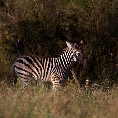 Zebra foal with mud on face