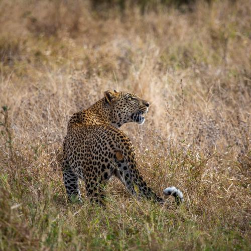 Imbali-Hoyo-Hamilitons-Mluwati-May-Leopard