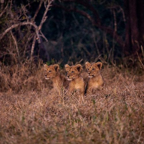 Imbali-Hoyo-Hamilitons-Mluwati-May-lion-cub