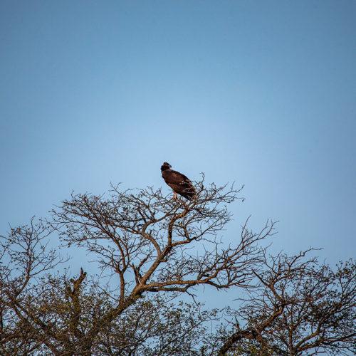 Imbali-Hoyo-Hamilitons-Mluwati-May-vulture