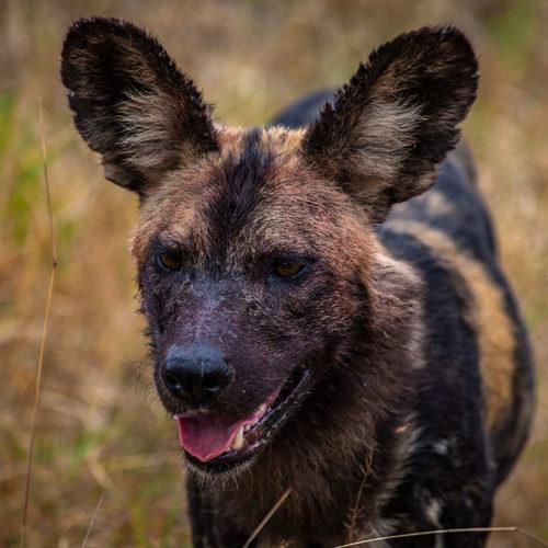 Imbali-Hoyo-Hamilitons-Mluwati-May-wild-dog-clos-up-mouth-open