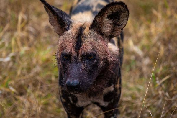 Imbali-Hoyo-Hamilitons-Mluwati-May-wild-dog-close-up