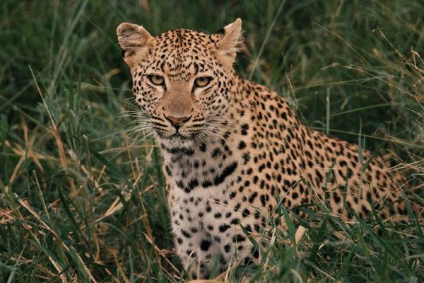 hoyo-hoyo-leopardstare-timhulme