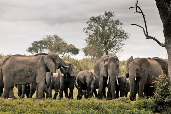 Hoyo-Hoyo-Elephants