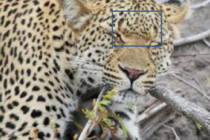 Nkhanye – if you can picture the bat man logo this is the spot pattern, we recognise her with almost immediately also she has a V Shaped notch in her right ear (when she is facing head on it will be our right)